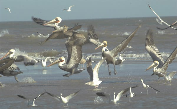 brown pelicans taking flight