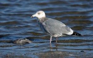 winter Gulls n Terns